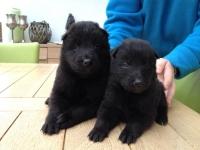 Nieuwe Pups